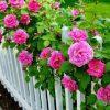 цветущий розарий