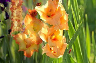 цветущие на участке гладиолусы
