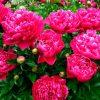 пионы в цвету