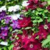 цветущие летом клематисы