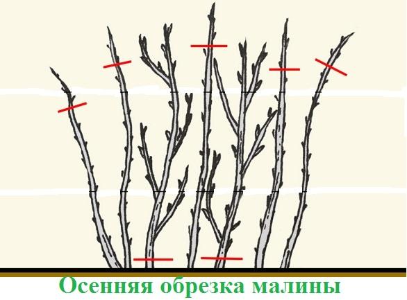 последовательность обрезки малинника