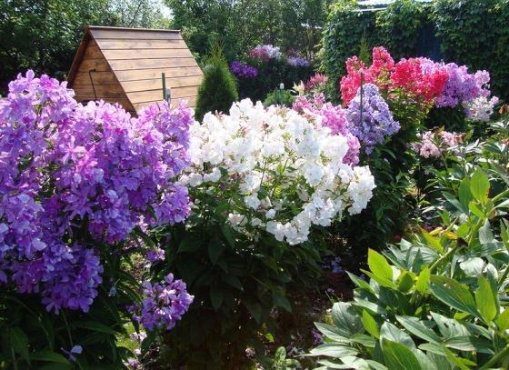 цветущие флоксы