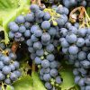 спелые виноградные гроздья