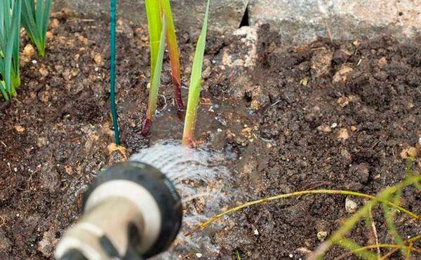 уход за гладиолусами осенью и их полив