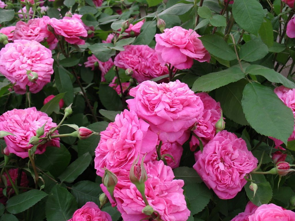 цветущая роза Гертруда