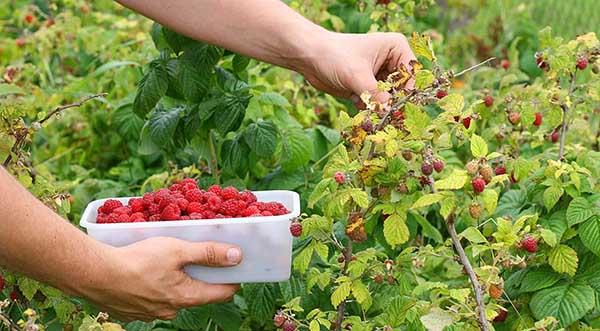 уход за малиной осенью и сбор урожая