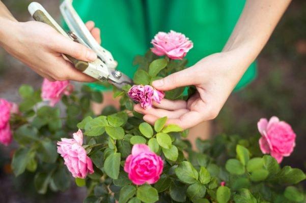 уход и обрезка роз