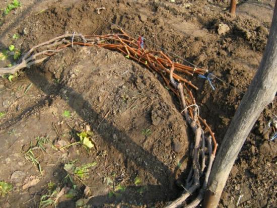 укладка виноградной лозы