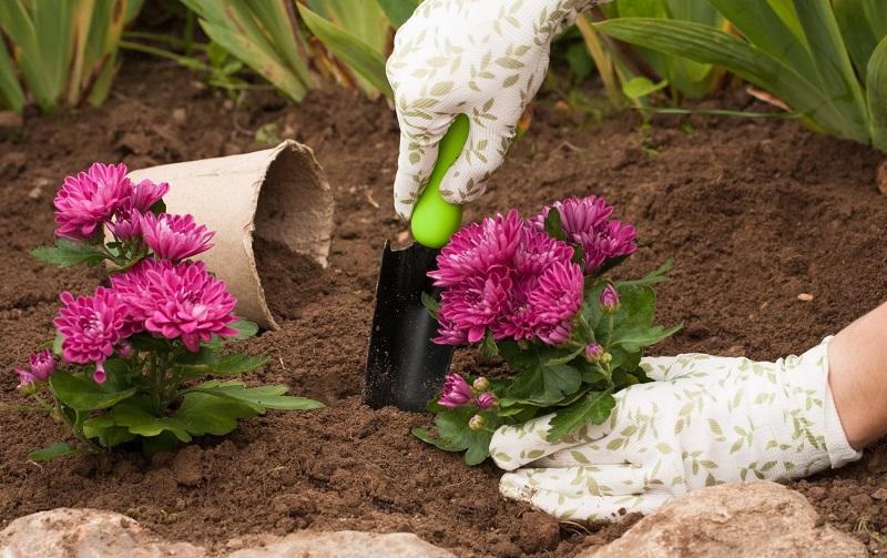 уход за хризантемами осенью и их высаживание