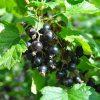 плодоносящий куст смородины