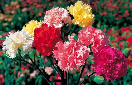 цветы гвоздики в цвету