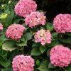 цветущий куст гортензии