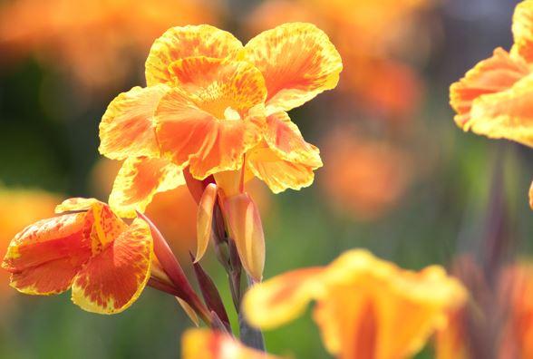 цветущий цветок канны