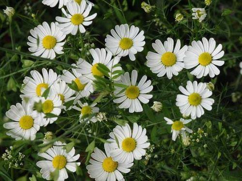 цветущие ромашки