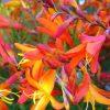 цветущая крокосмия