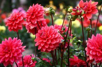 цветущие георгины на участке