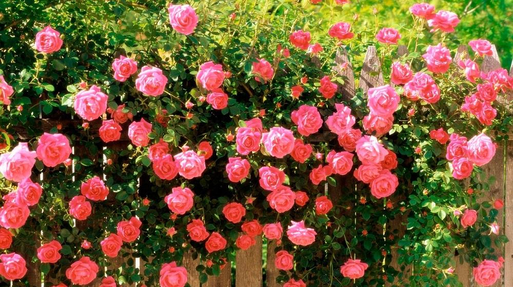 куст цветущих парковых роз