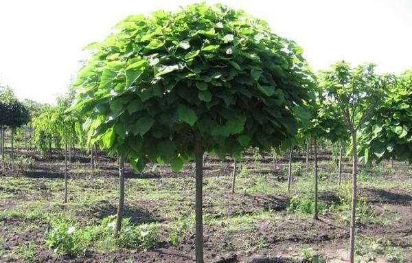 посаженное дерево шелковицы