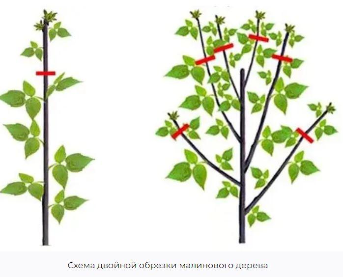 процесс двойной обрезки малинового дерева