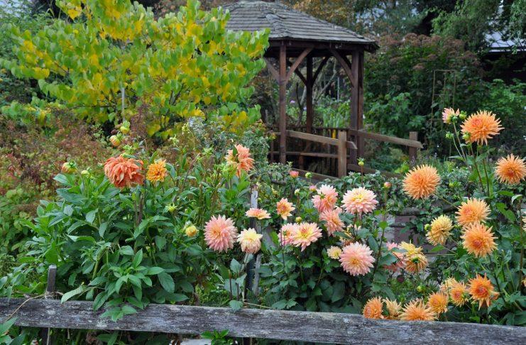 осенние георгины и их цветение