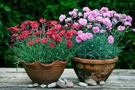 цветки гвоздики высаженные в горшки