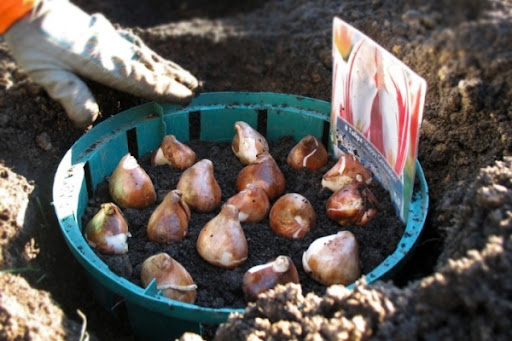 хранение клубней тюльпанов