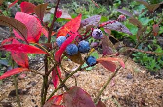 куст голубики с созревшими ягодами