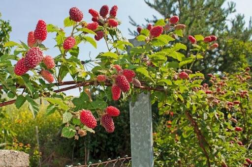 ягоды малинового дерева