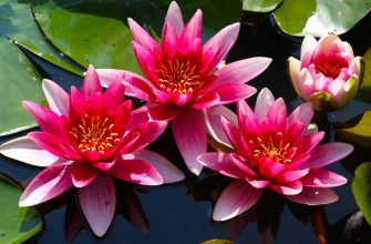 цветки нимфеи