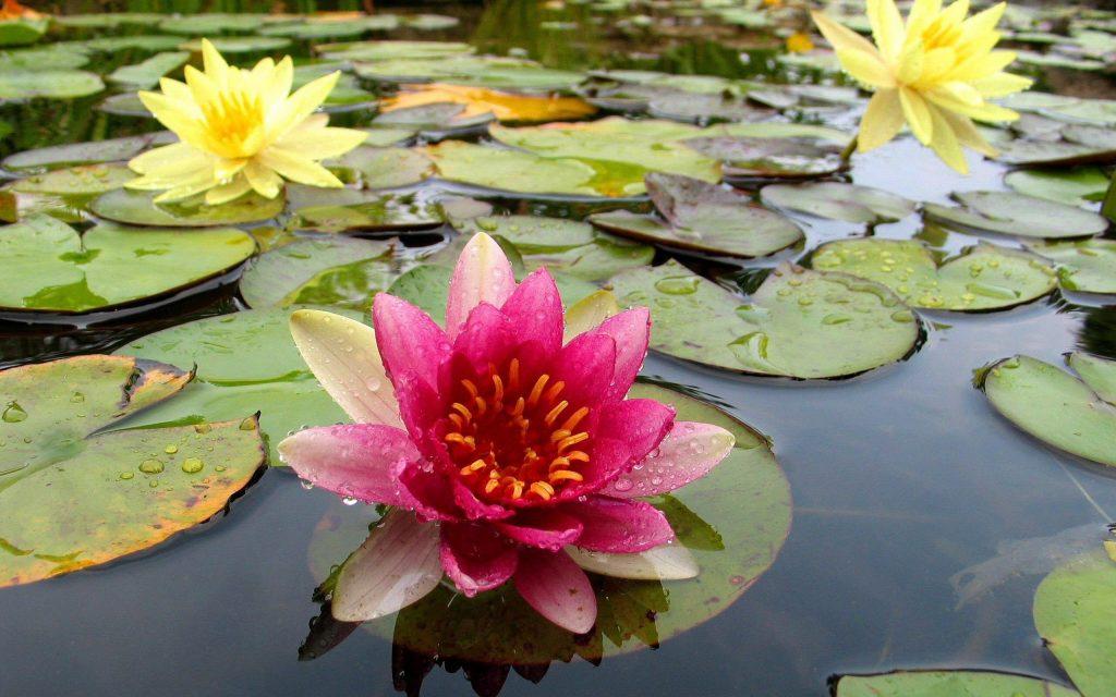 нимфея в природном водоеме