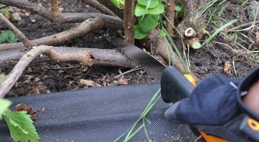 уход за голубикой осенью и обрезка кустов