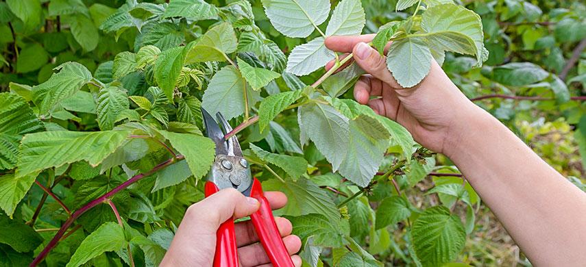 проведение обрезки малинового дерева
