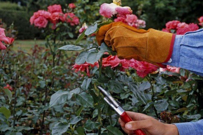уходе за парковыми розами и их обрезка