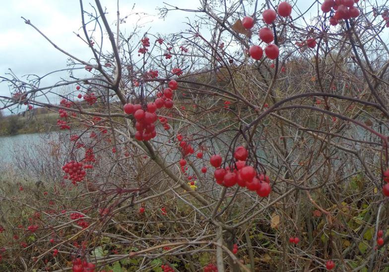 куст калины осенью
