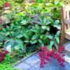 роджерсия в саду осенью