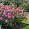 различные сорта парковых роз
