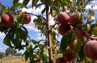 персиковое дерево осенью