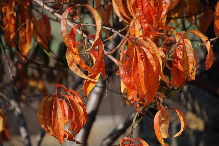 поражение листьев персика вредителями