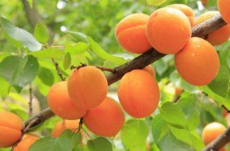 созревшие плоды абрикоса