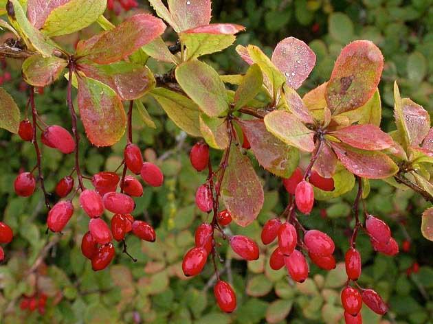 кустарник с ягодами барбариса