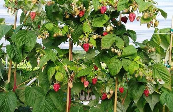 уход за малиновым деревом и подвязка веток