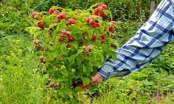 уход за малиновым деревом и его посадка