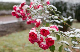розовый куст под снегом