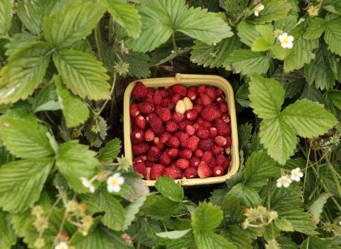урожай земляники в корзинке