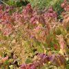 куст спиреи осенью