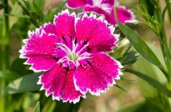 цветущая турецкая гвоздика