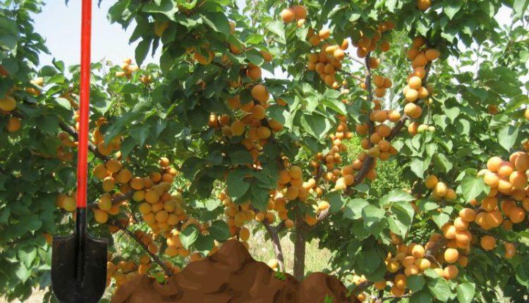 уход за абрикосовым деревом осенью