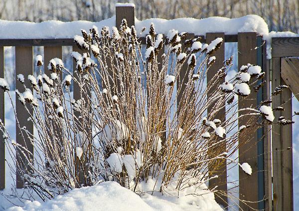 куст спиреи присыпанный снегом