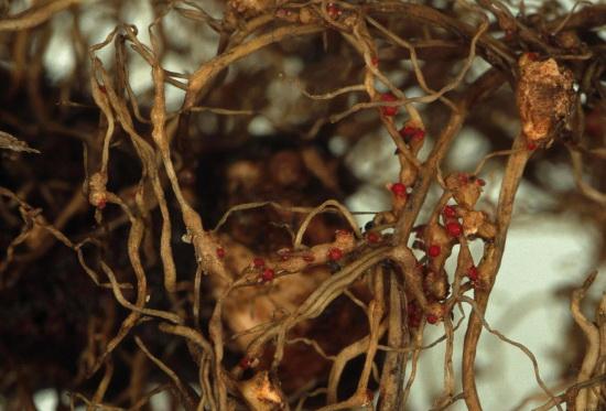 уход за гвоздикой и защита от вредителей