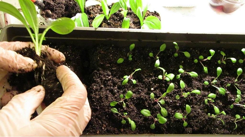 процесс размножения крокосмии семенами